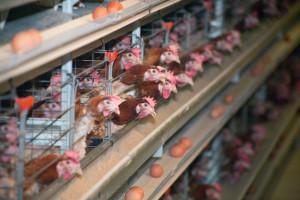 Proizvodnja mesa, mleka i jaja u SAD-u zabrinjava Britance