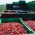 Cena bobičastog voća u Evropi i dalje visoka - u Americi pada