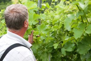 Arome i svježinu budućeg vina spasite izmjenama u tehnologiji