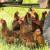 Crvenoj kokošijoj grinji odgovaraju ekstremne vrućine - kako zaštititi živinu?