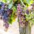 Usporavanje dozrijevanja grožđa poboljšava kvalitetu budućeg vina?