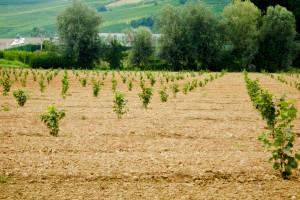 Jesenska sadnja lijeske: Pazite na položaj i osigurajte navodnjavanje