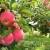 Tko je proljetos prorijedio jabuke danas ima kvalitetne plodove