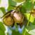 Tko su top 10 uzgajivača oraha u Hrvatskoj?