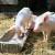Ruski stočari uskoro neće smeti da koriste antibiotike u ishrani životinja?