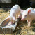 Ruski stočari uskoro neće smjeti koristiti antibiotike u hranidbi životinja?
