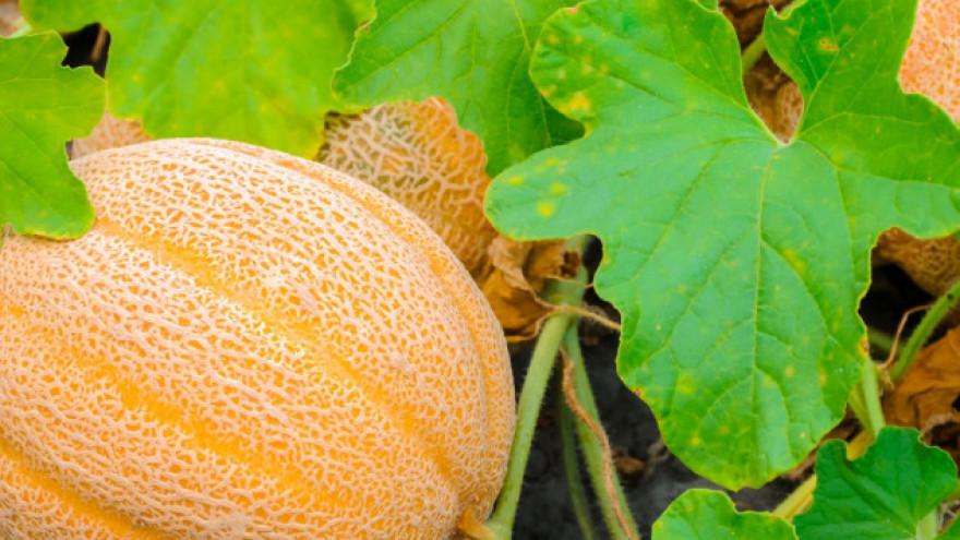 Dinja - pravilnom rezidbom do krupnih plodova - Povrćarstvo ...