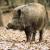 Divlje svinje odavno ne prežu pred ulaskom u naseljena mjesta, jedna šeće Crikvenicom
