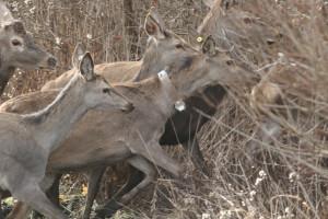 Prvi put - GPS ogrlice za jelensku divljač