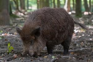 Plaćaju bonuse za odstrel divljih svinja