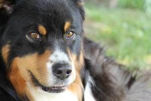 Dominacija psa: Ko je kriv pas ili vlasnik?