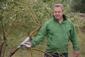 Grad poharao Novigrad: Bujne krošnje spasile urod maslina dr. Ivice Vlatkovića