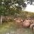 Dragan Badža darivao ovčetinu da bi potaknuo prodaju domaće janjetine!