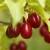 Stablo drena - atraktivno voće kiselog ukusa