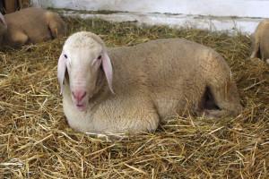 Prijavite se za 23. savjetovanje uzgajivača ovaca i koza