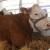 Prekid proizvodnje mlijeka najavilo 50 posto hrvatskih farmi?!