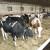 Satnica Milk: Poticajnim sredstvima županije kupili junice za mliječnu farmu