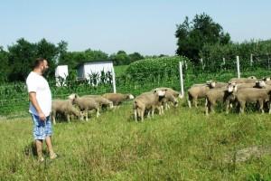 Birao ih na elitnim farmama u Francuskoj i sad uzgaja najmesnatije pasmine ovaca!