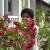 Mirišljavi, ali otrovni oleander - višebojni cvjetni grm