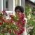 Mirišljavi, ali otrovni oleander - višebojni cvetni grm