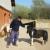Šetland poni i patuljaste koze na imanju Ilije Bakića