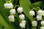 Lukovičasto i gomoljasto cvijeće, ukras proljetnih dana