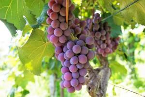 Odakle vinogradi i vino u Tomislavgradu?