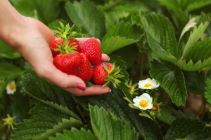 Ekološki uzgoj jagoda pogodan za farme svelikom stočarskom proizvodnjom