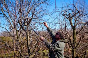 Kako obaviti rezidbu zapuštenog voćnjaka