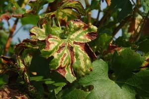 Kako spriječiti pojavu gljivične bolesti ESCA u vinogradima?