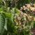 Davorin Krakar: Evodija daje nektar i pelud u izobilju, preporučam je svim pčelarima