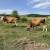 Otkupna cijena mlijeka 2,45 kn, a proizvodnje 4,03. Omjer u tovu goveda i svinja još je gori