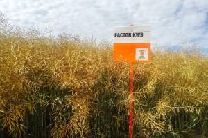 Hybrirock nosi 41% usjeva sjemenske uljane repice, po nekoliko tona dali su i Ametyst i Factor KWS