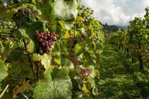 Prijedlog pravilnika o zemljopisnim područjima uzgoja vinove loze