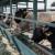 ZDK: Podsticaji za stočare 330 KM po muznoj kravi, a za malinare 700 KM