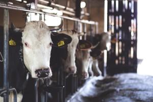 Farma Spreča ulaže 38,5 miliona KM u Kalesiju
