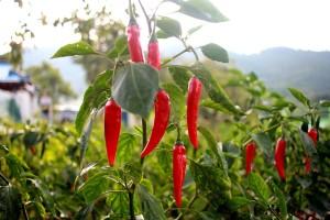 Za uzgoj feferona potreban mali početni kapital