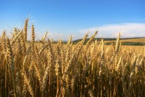 Opština Prnjavor: Prijavite se za podsticajna sredstva za proizvodnju merkantilne pšenice
