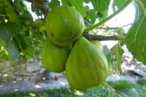 Kreće prva berba smokve, kako preraditi plodove?