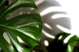 Koje sobne biljke nisu dobre za naše zdravlje?