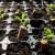 U filteru opuška sjeme - iz sjemena biljka?