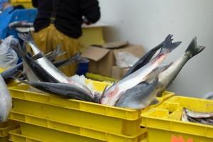 Više od trećine ulovljene ribe završi kao otpad