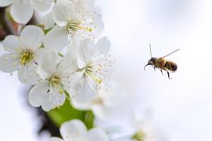 Voćari, počinje cvjetanje, mislite na pčele!