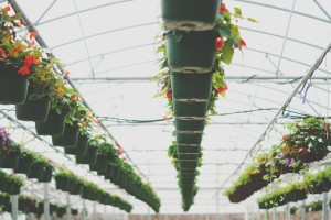 Cvećarstvo isplativo uz posvećenost i državne subvencije