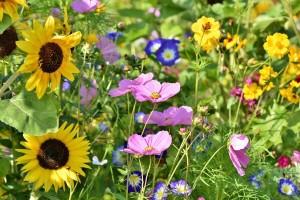 Usjeve od štetnih kukaca zaštitite divljim cvijećem