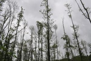 Propadanje poljskog jasena, ugrožene šume vrijede više od 11 milijardi kuna