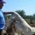 Nesvakidašnje iskustvo Frane Pavlovića: Ovčju vunu malčira i koristi kao organsko gnojivo u masliniku