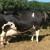 """Krava """"Frauke"""" postigla životnu proizvodnju od 150.000 kg mlijeka!"""