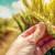 Poslije obilnih padavina česte su zaraze klasa pšenice - kako pomoći biljkama?