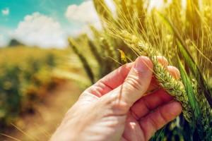 Posle obilnih padavina česte su zaraze klasa pšenice. Kako pomoći biljkama?